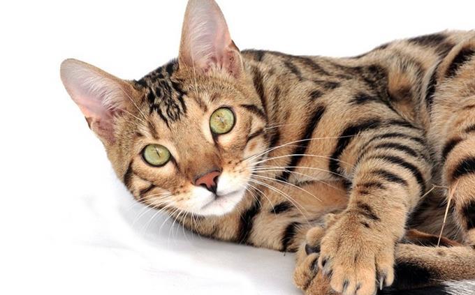 מבחן זיהוי כלבים וחתולים: חתול בנגלי