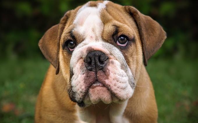 מבחן זיהוי כלבים וחתולים: כלב בולדוג אנגלי