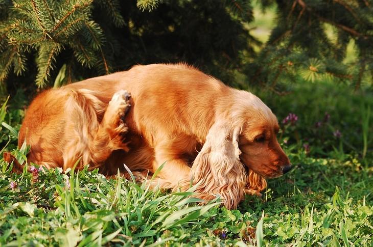 תרופות ביתיות לכלב מתגרד: כלב מתגרד