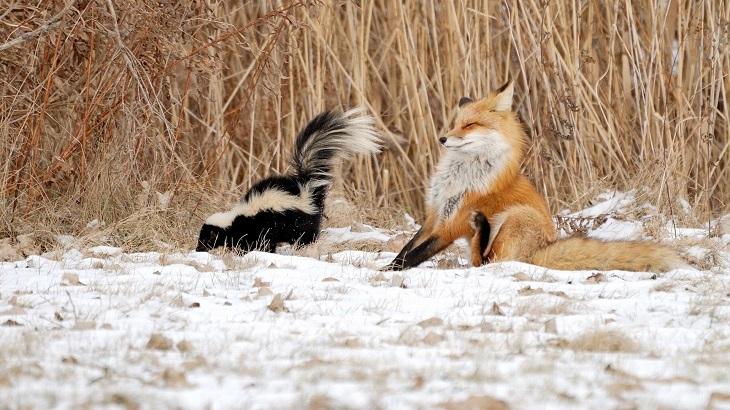 חיות חמודות בחורף: בואש מרסס שועל