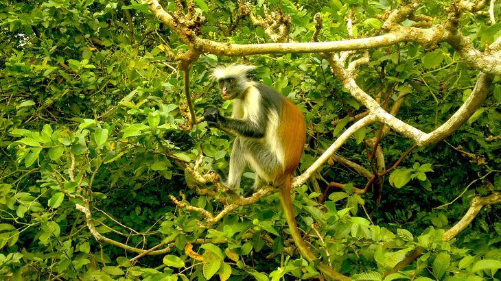 9 אטרקציות בזנזיבר: קוף יושב על ענף בפארק הלאומי ג'וזאני