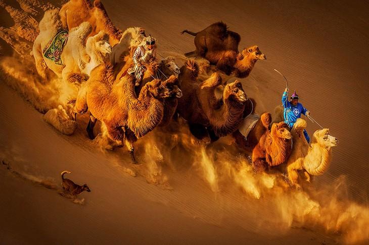 תמונות זוכות מתחרות הצילום של סיינה: עדר של גמלים מלווה ברועה וכלב דוהרים בתלולית חול במדבר מונגוליה.