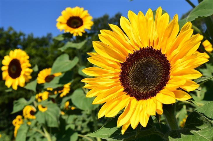 מה האופי שלכם על פי הפרחים שתבחרו: חמנית