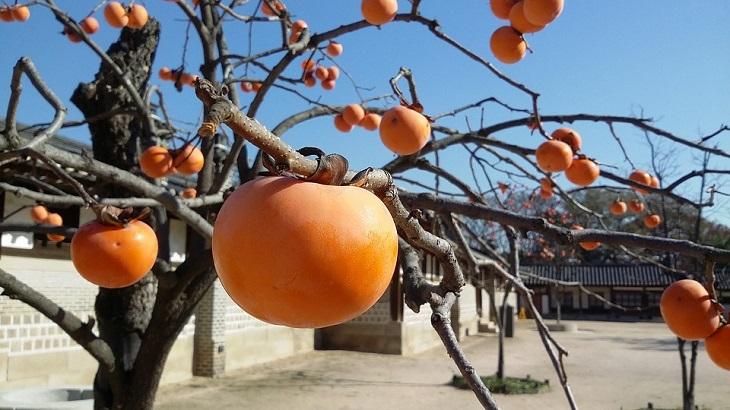 יתרונות בריאותיים באפרסמון: עץ אפרסמונים