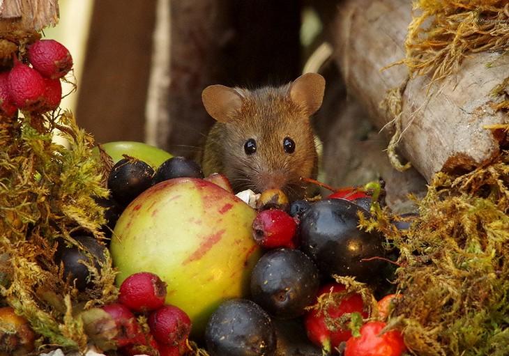 תמונות של עכברים בכפר מיניאטורי: עכבר עם פירות