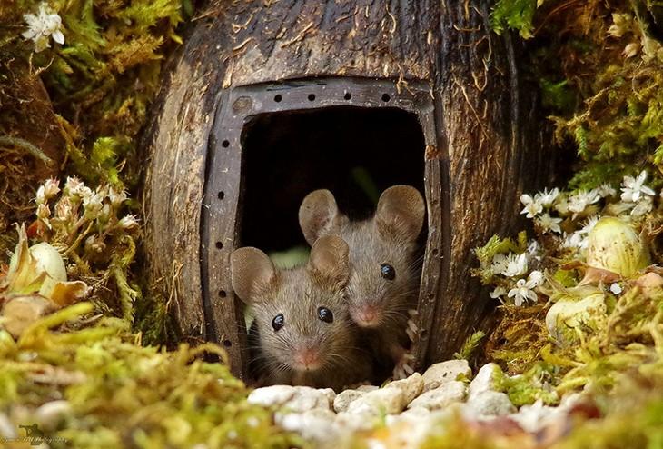 תמונות של עכברים בכפר מיניאטורי: שני עכברים מציצים מאגוז קוקוס
