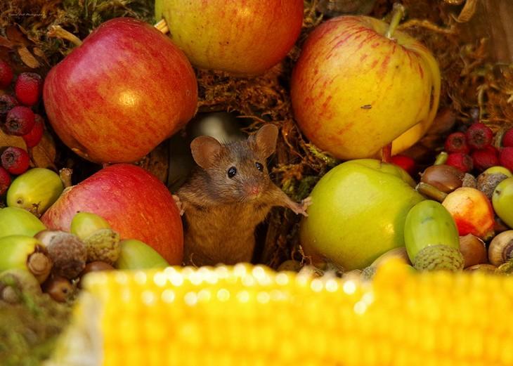 תמונות של עכברים בכפר מיניאטורי: עכבר בין תפוחים