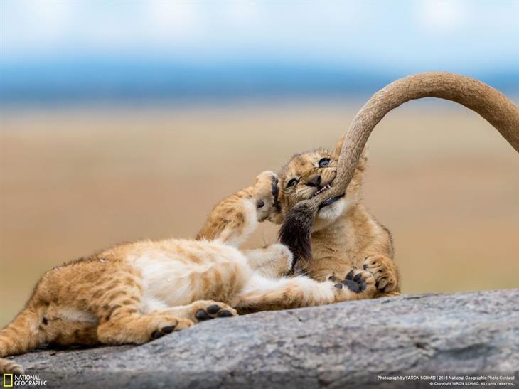 תמונות טבע מדהימות: גור אריות נושך את הזנב של אמו
