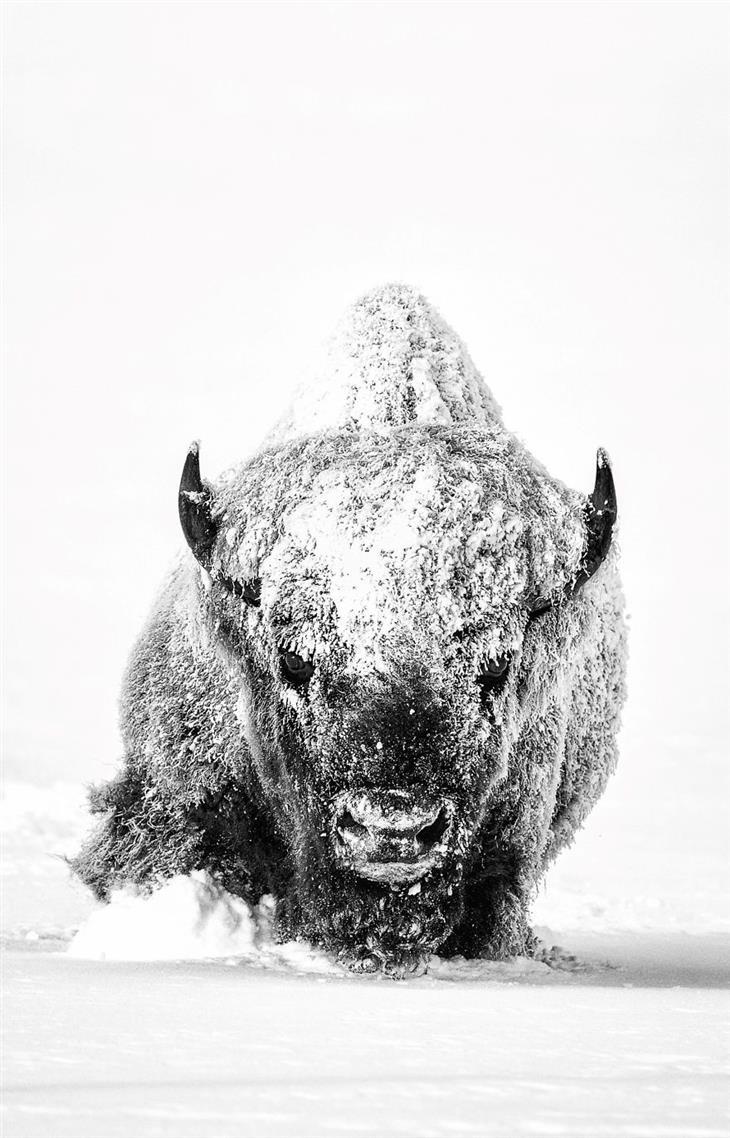 תמונות טבע מדהימות: ביזון צועד בשלג