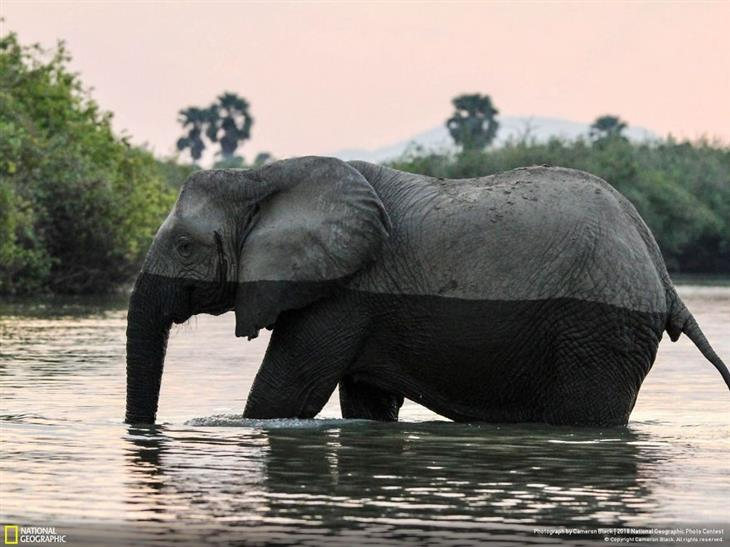 תמונות טבע מדהימות: פילה עוברת נהר וחצי מגופה רטוב