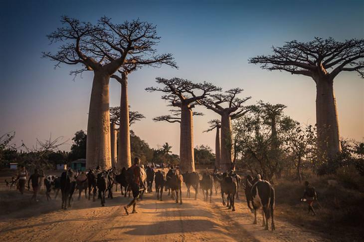 מדגסקר: עדר בקר דוהר