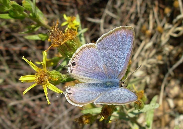 פרפרים בארץ ישראל: כחליל האפון