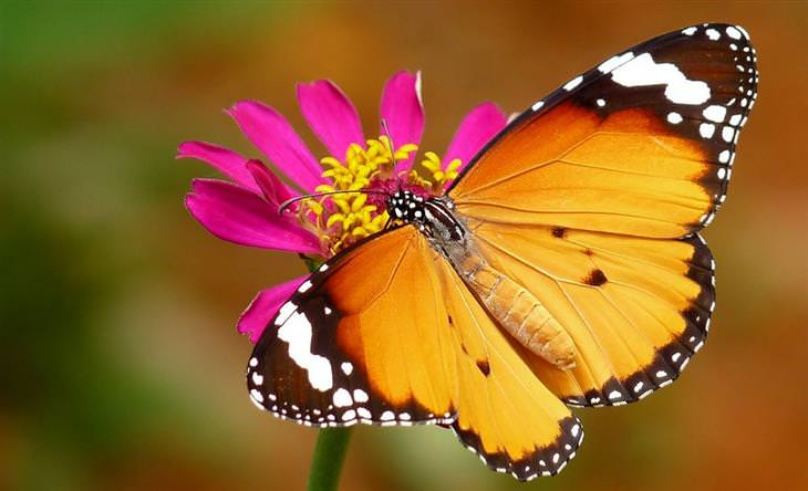 פרפרים בארץ ישראל: דנאית הדורה