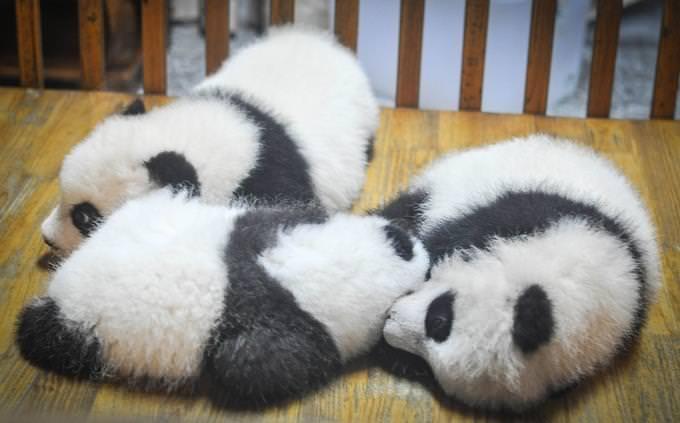 מבחן טריוויה: 3 גורי דובי פנדה שוכבים