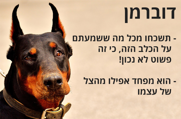 מדריך משעשע להכרת האופי של גזעי כלבים שונים: דוברמן - תשכחו מכל מה ששמעתם על הכלב הזה, כי זה פשוט לא נכון! - הוא מפחד אפילו מהצל של עצמו