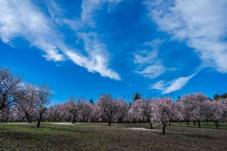 יתרונות בריאותיים של שקדים: עצי שקד
