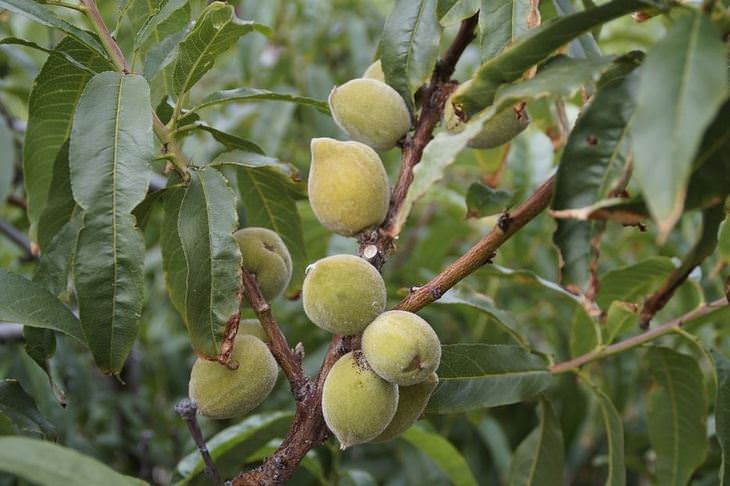 יתרונות בריאותיים של שקדים: פרי השקד