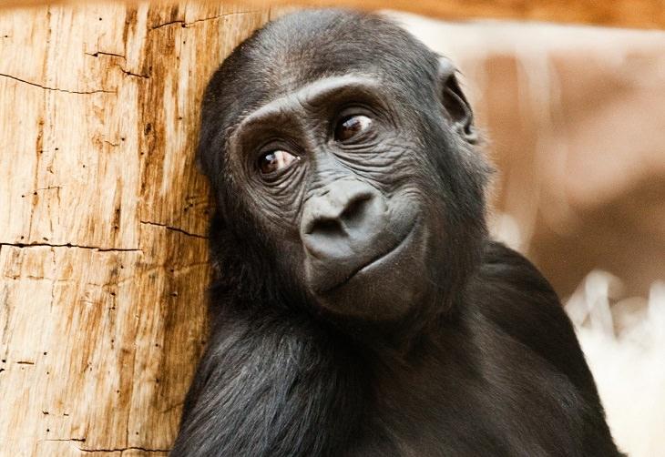 תמונות של חיות פוטוגניות: קוף במראה מהורהר