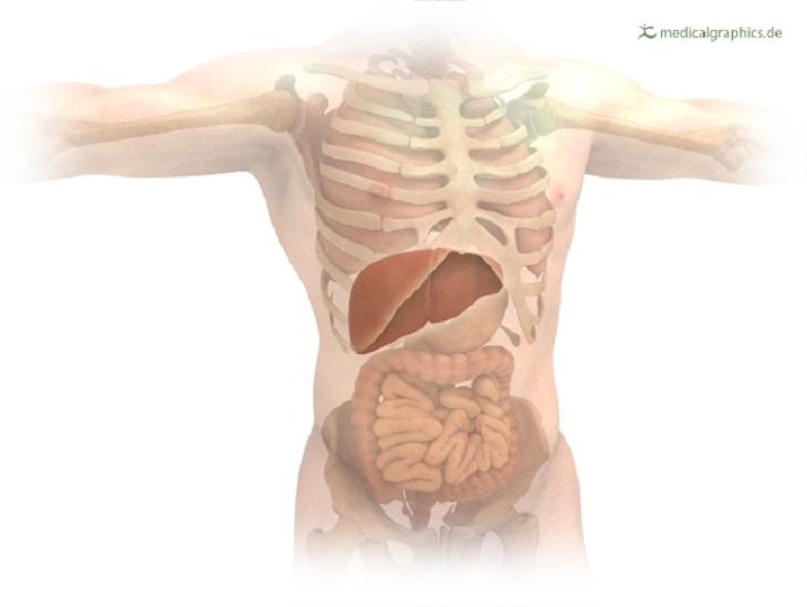 יתרונות בריאותיים של קצח: איור של מיקום הכבד בגוף האדם