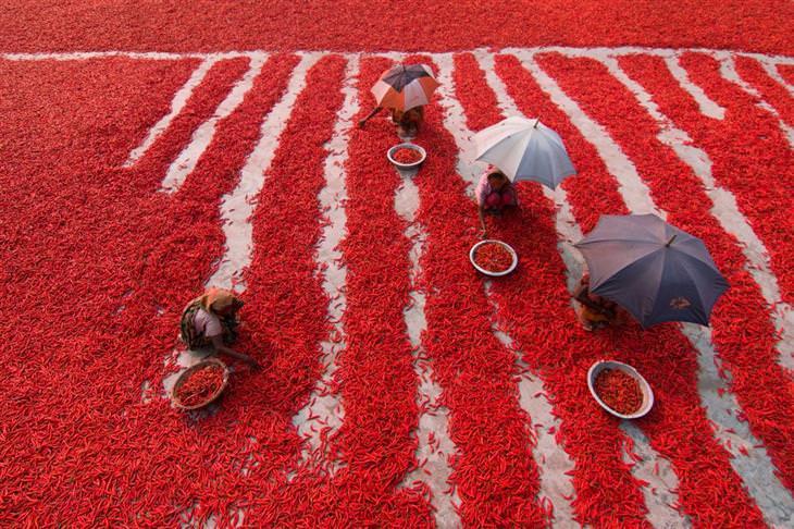 תמונות שחושפות פלאיו של העולם: אוספי פלפלים אדומים חריפים בבנגלדש