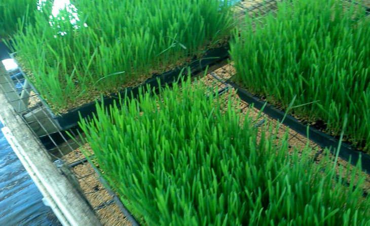 יתרונות בריאותיים של עשב החיטה: עשב החיטה