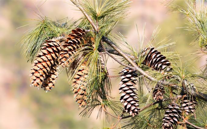 מבחן טריוויה: ענף עם אצטרובלים