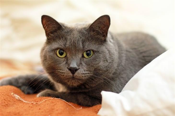 איך לבחור חתול לאימוץ: חתול רוסי כחול