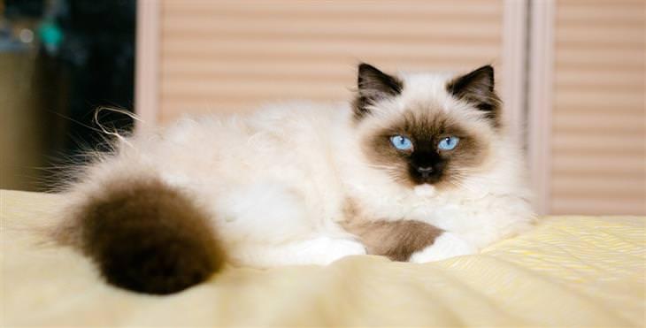 איך לבחור חתול לאימוץ: חתול בירמן