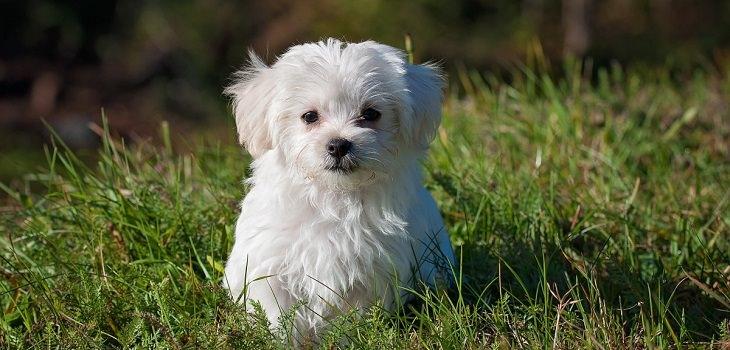בדיחה על סידורי קבורה של אלמנה עשירה: כלב קטן וחמוד
