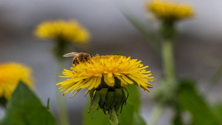 מגן דבורים אדום: דבורה על פרח