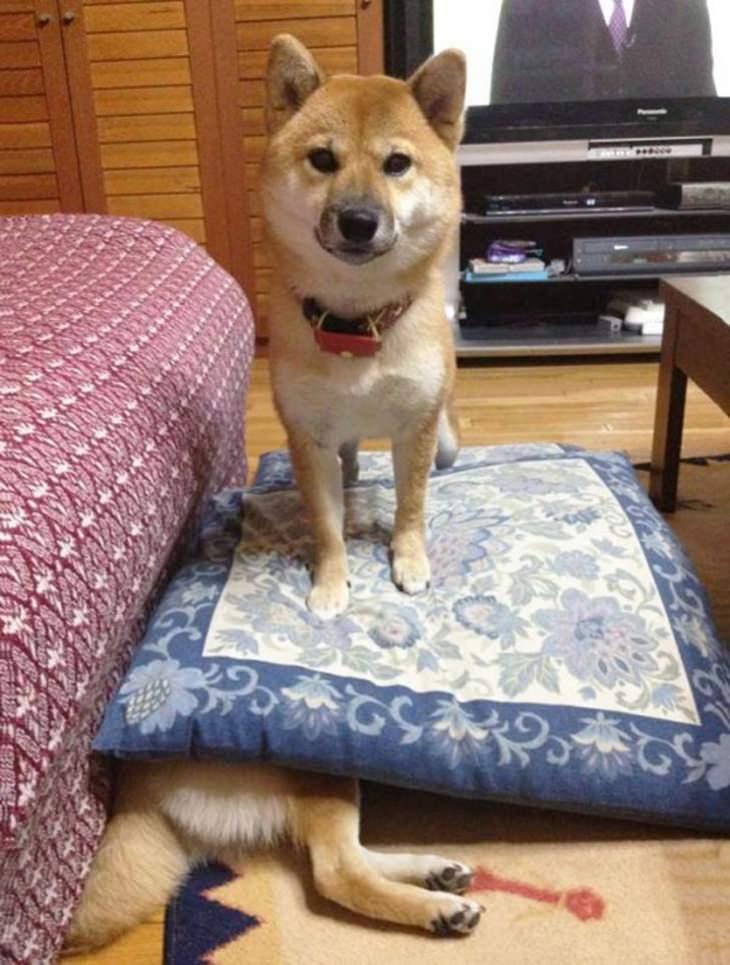 חיות שובבות ומצחיקות: כלב יושב על כלב אחר
