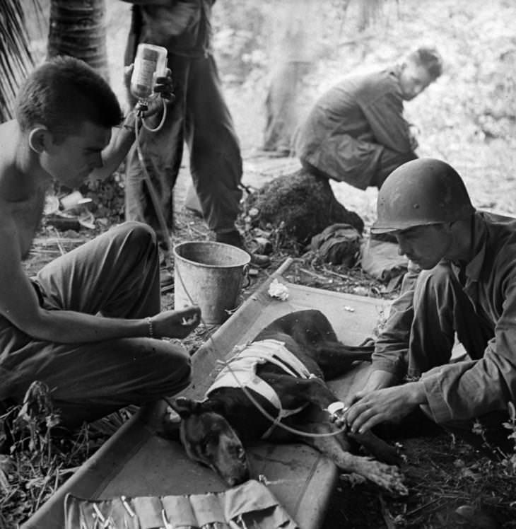 תמונות היסטוריות: חיילים אמריקאים מטפלים בכלב פצוע בחצי האי אורוט במהלך הקרב על גואם, 1944.