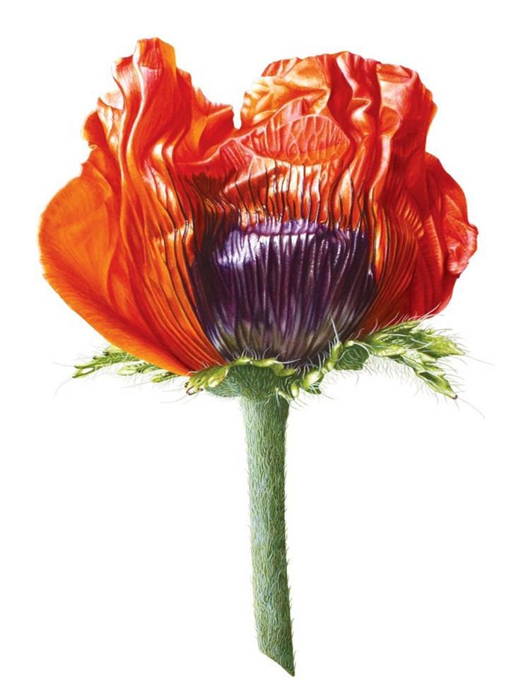 פרחים מצבעי מים: ציור של פרח הפרג - דניס רמסי