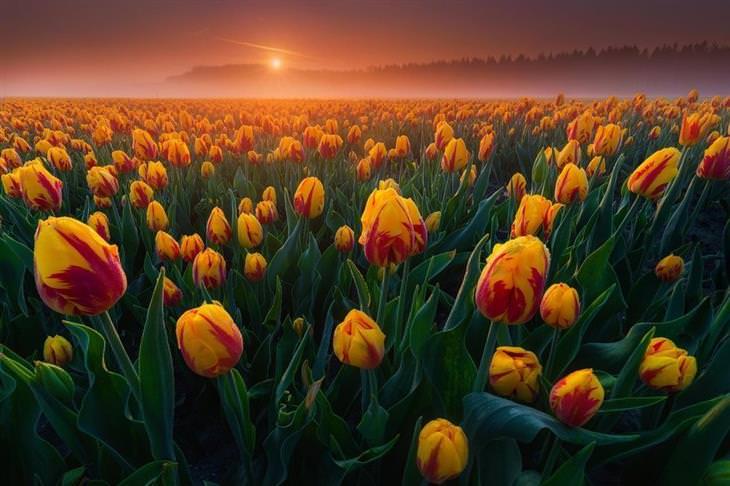 תמונות טבע מדהימות: צבעונים בהולנד בשעת זריחה