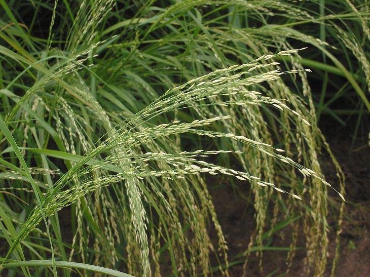 יתרונות קמח טף: צמח הטף