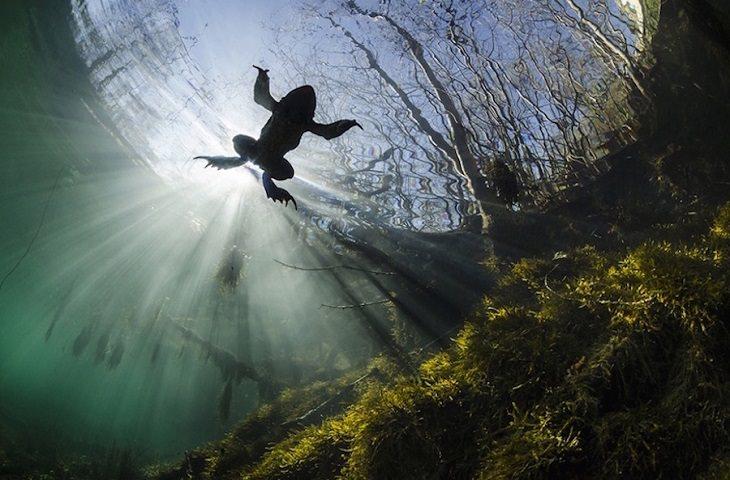 חיות חמודות: צפרדע שוחה