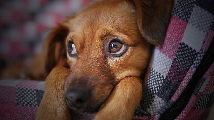 סימנים שצריך לקחת את חיית המחמד לווטרינר: כלב שוכב על ספה