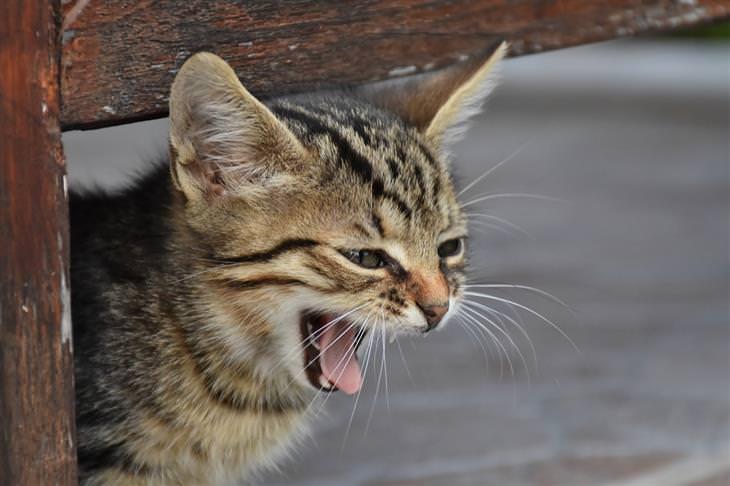 סימנים שצריך לקחת את חיית המחמד לווטרינר: חתול עם פה פתוח