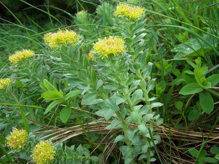 השפעות הרודיולה: צמח הרודיולה