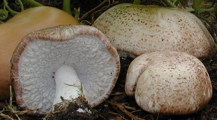 פטריות מרפא: פטריית אגריקוס