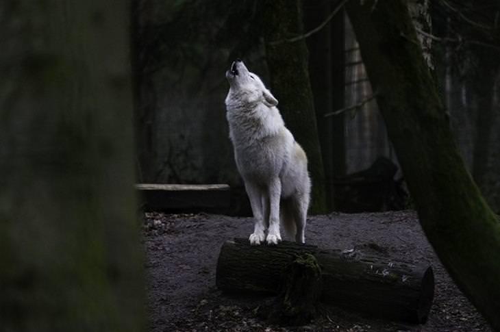 תמונות טבע: זאב לבן מילל