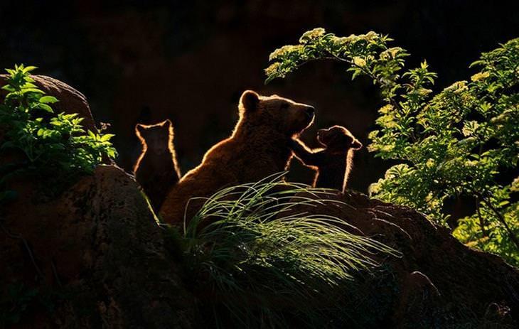 תמונות טבע: אמא דובה ושני הגורים שלה