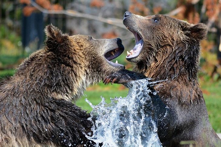 שפה נקייה: שני דובים רבים במים