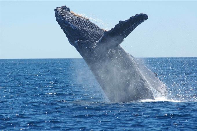 בחן את עצמך: לווייתן קופץ מהמים