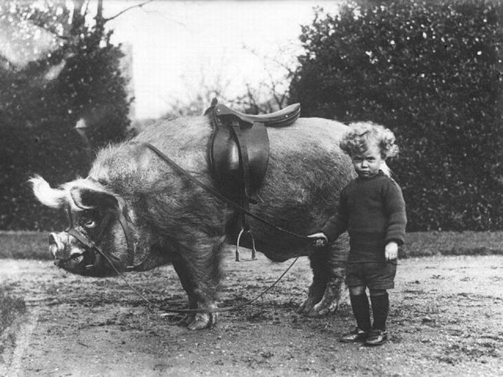 תמונות היסטוריות: ילד קטן ליד חזיר גדול עם אוכף