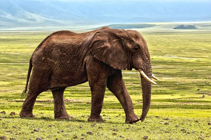 שפה נקייה: פיל צועד בטבע