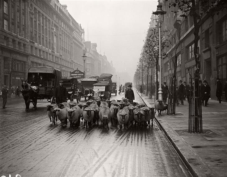תמונות היסטוריות: רועה צאן עם כבשים ברחובות לונדון