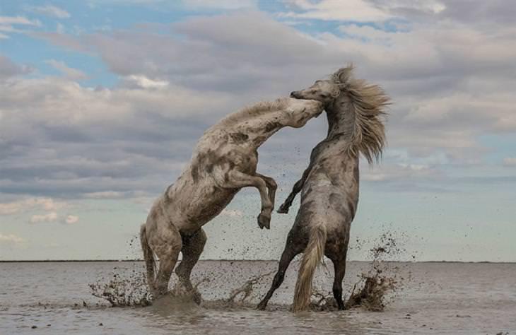"""זוכי תחרות התמונות של החברה לשימור הטבע: """"סוסי הרבעה משחקים"""""""