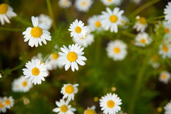 פתרונות טבעיים למניעת מחלת נסיעה: פרחי קמומיל