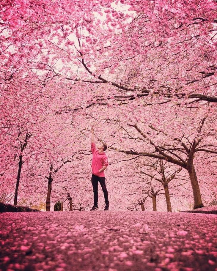 תמונות נפלאות: פריחת עצי הדובדבך בקופנהגן - דנמרק